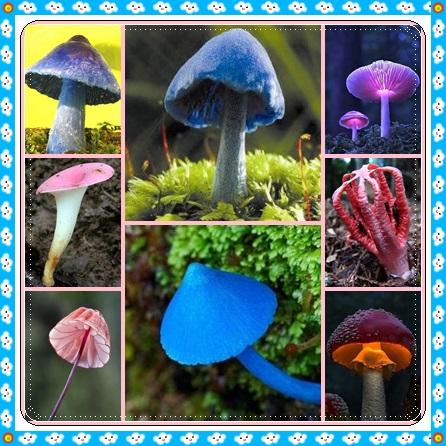 0.jpg - 真的有藍瘦香菇 , 百年難見 !