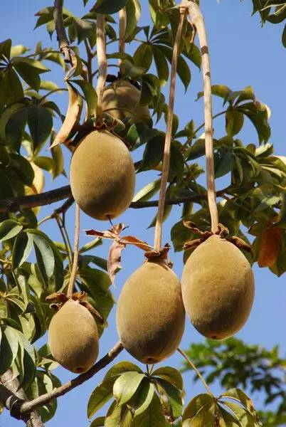 12.jpg - 這些水果吃過5種以上是土豪,吃過10種以上就是貴族!