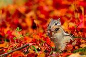 秋之精靈•松鼠:2.jpg