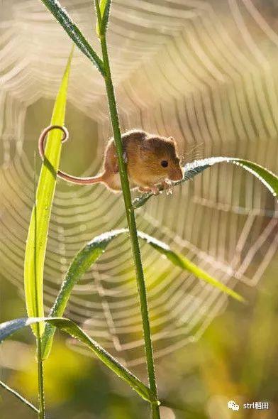 37.png - 世界上最小的老鼠