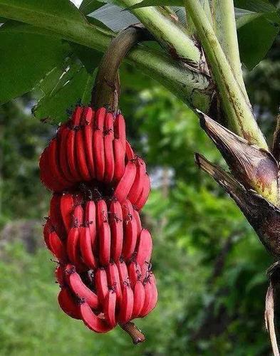 15.jpg - 這些水果吃過5種以上是土豪,吃過10種以上就是貴族!