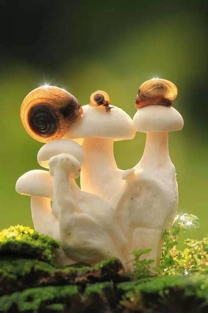 11.jpg - 真的有藍瘦香菇 , 百年難見 !