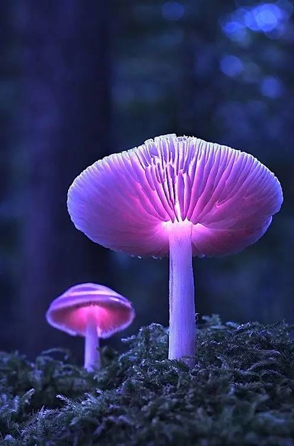 21.jpg - 真的有藍瘦香菇 , 百年難見 !