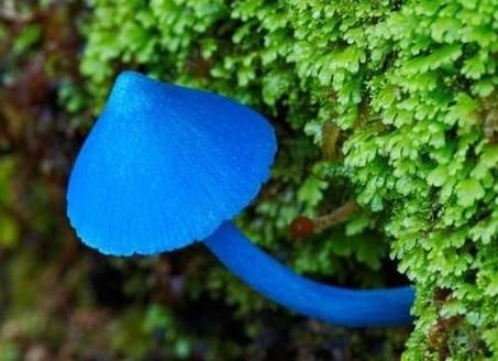 3.jpg - 真的有藍瘦香菇 , 百年難見 !