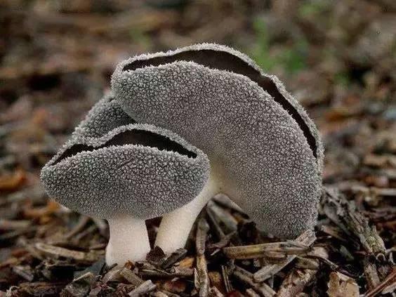 16.jpg - 真的有藍瘦香菇 , 百年難見 !