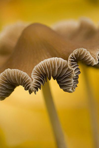 34.jpg - 真的有藍瘦香菇 , 百年難見 !