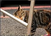 【不是我的貓】台北街貓:愛撒嬌真是我的致命傷XD5486