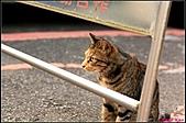 【不是我的貓】台北街貓:糖心般的小母貓,巧克力5488