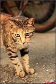 【不是我的貓】台北街貓:不過其實個性挺耍寶的,幫她拍照才發現,他常常忘了收舌頭XD5492