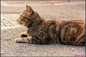【不是我的貓】台北街貓:身上花紋真漂亮5499