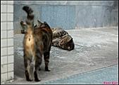 【不是我的貓】台北街貓:但個性還是跟小朋友一樣,很愛玩,愛在地上打滾5530