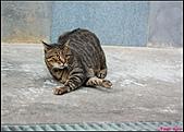 【不是我的貓】台北街貓:動作也很搞笑5535