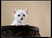 我的第一次棚拍--小賢寵物攝影課:看吧!果然翻過來了!請叫我大力士小白!1466