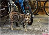 【不是我的貓】台北街貓:巧克力5547