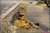 【不是我的貓】台北街貓:超有噸位的,應該有五六公斤以上吧!每次抱都會有閃腰的感覺。5567