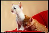 我的第一次棚拍--小賢寵物攝影課:好啦!小白,別生氣嘛!(頂頂)1543