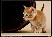 我的第一次棚拍--小賢寵物攝影課:小橘貓果然好奇心超強!1450
