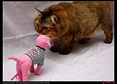 【不是我的貓】企鵝家的三隻小豬:開始搬出我簡易攝影棚裝備