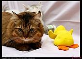 【不是我的貓】企鵝家的三隻小豬:兩隻就搞倒小鴨鴨了!XD