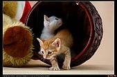 我的第一次棚拍--小賢寵物攝影課:噓!趁小白沒看見,偷偷出來!1482