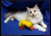 【不是我的貓】企鵝家的三隻小豬:拋拋,你也很美喔!尤其在為你準備的深色背景下