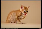 我的第一次棚拍--小賢寵物攝影課:呵呵!舌頭露出來囉!1403