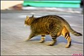【不是我的貓】台北街貓:別以為胖貓就動作不靈活喔,胖胖跑起來超快的。5571