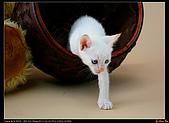 我的第一次棚拍--小賢寵物攝影課:怯生生的爬出來。1436