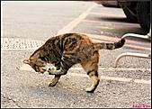 【不是我的貓】台北街貓:常有搞笑的動作5484