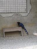2009.03.01 日月潭孔雀園+九族:台灣藍鵲