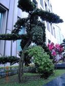 成功大學66級統計系同學:DSCN4057羅漢松兆豐總部1011209.JPG