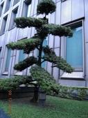 成功大學66級統計系同學:DSCN4058羅漢松兆豐金控總部1011209.JPG