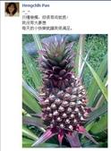 成功大學66級統計系同學:鳳梨1020715.JPG