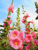 【台南】學甲蜀葵花盛開。季節限定版美麗花景:IMG_9575.JPG