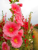 【台南】學甲蜀葵花盛開。季節限定版美麗花景:IMG_9689.JPG