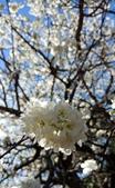 【南投.信義】1月季節限定美景。外坪頂蔡家秘境梅園。絕美水池倒影:128201.jpg