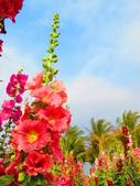 【台南】學甲蜀葵花盛開。季節限定版美麗花景:IMG_9582.JPG