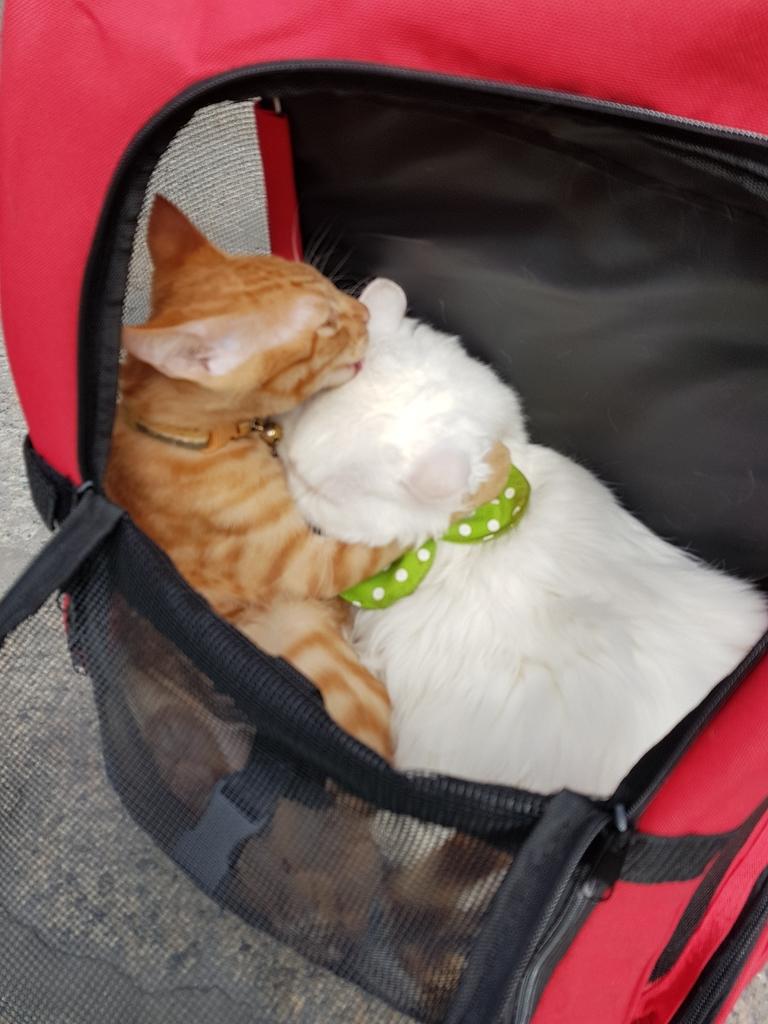 20171207_113355.jpg - 【寵物用品】貓狗外出太空背包兩款推薦(含拉桿款)。南洋峇里spa撰寫