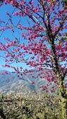 【南投.信義】1月季節限定美景。外坪頂蔡家秘境梅園。絕美水池倒影:128165.jpg