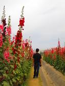 【台南】學甲蜀葵花盛開。季節限定版美麗花景:IMG_9692.JPG