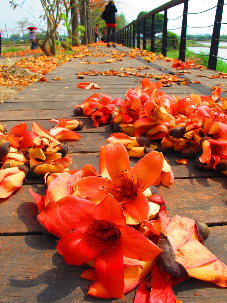 【台南】林初埤。季節限定美麗的木棉花道:IMG_9421.JPG