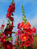 【台南】學甲蜀葵花盛開。季節限定版美麗花景:IMG_9583.JPG