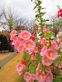 【台南】學甲蜀葵花盛開。季節限定版美麗花景:IMG_9697.JPG