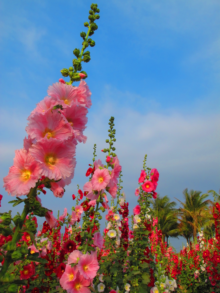 【台南】學甲蜀葵花盛開。季節限定版美麗花景:IMG_9570.JPG