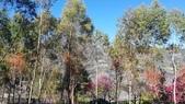 【南投.信義】1月季節限定美景。外坪頂蔡家秘境梅園。絕美水池倒影:128182.jpg