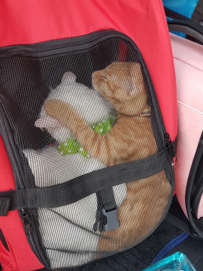 20171207_130455.jpg - 【寵物用品】貓狗外出太空背包兩款推薦(含拉桿款)。南洋峇里spa撰寫