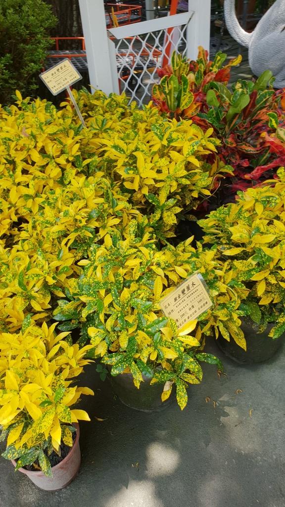 145589.jpg - 【彰化.田尾】鳳凰花園&窄巷咖啡。田尾最美麗花園植物種類超多推薦。低消100水果免費吃