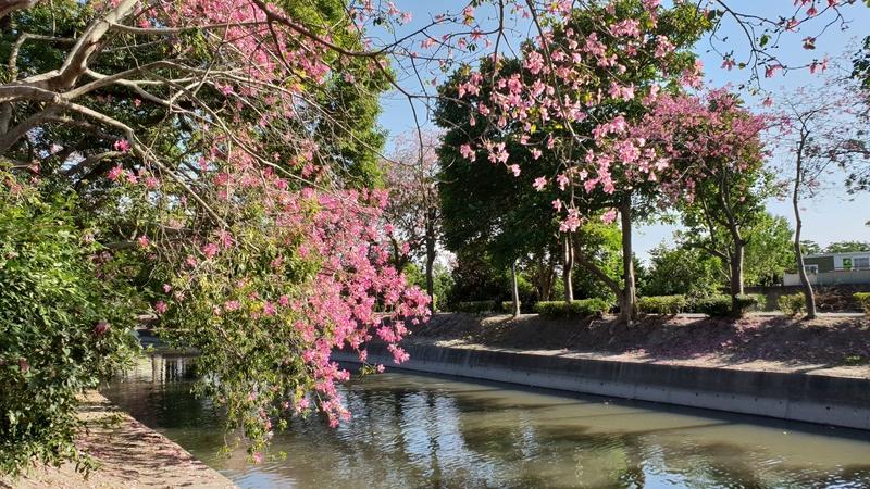 152644.jpg - 【彰化.北斗】免費季節10~12月冬季限定美景推薦。北斗河濱公園美人花盛開中