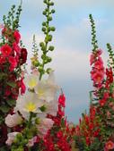 【台南】學甲蜀葵花盛開。季節限定版美麗花景:IMG_9695.JPG