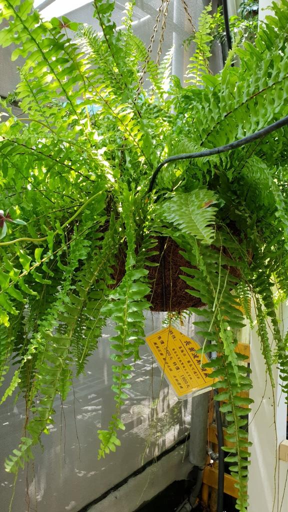 145581.jpg - 【彰化.田尾】鳳凰花園&窄巷咖啡。田尾最美麗花園植物種類超多推薦。低消100水果免費吃